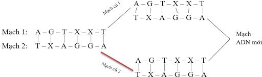 giải thích vì sao 2 adn con được tạo ra qua cơ chế nhân đôi lại giống adn mẹ